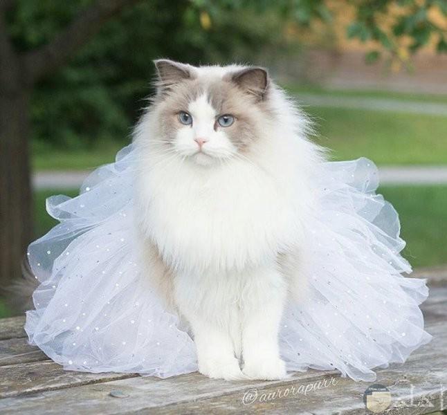 قطة ترتدي فستان