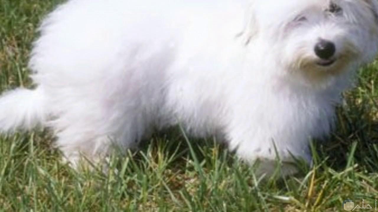 صورة كلب الجريفون يسير بين الخضرة.