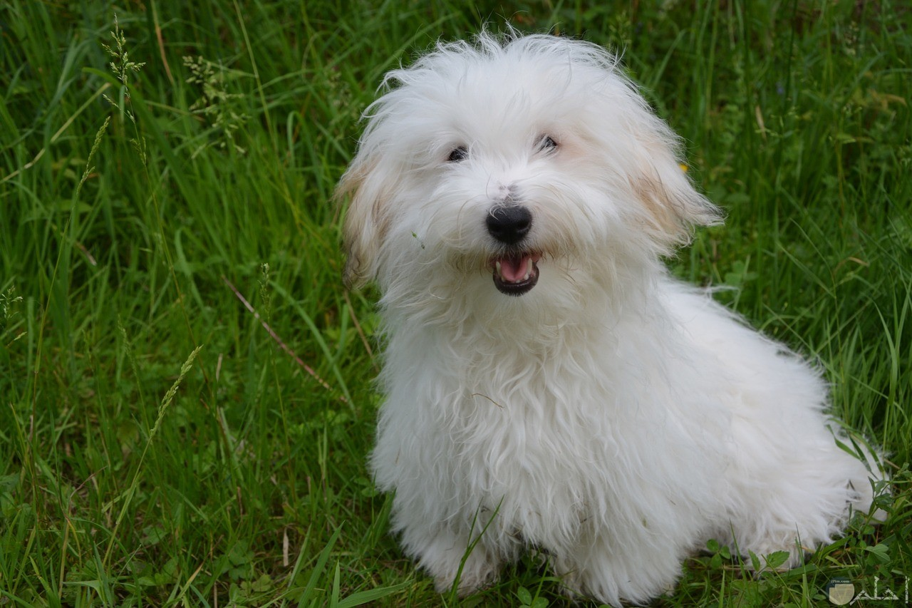 كلب جريفون كأنه يبتسم للتصوير.