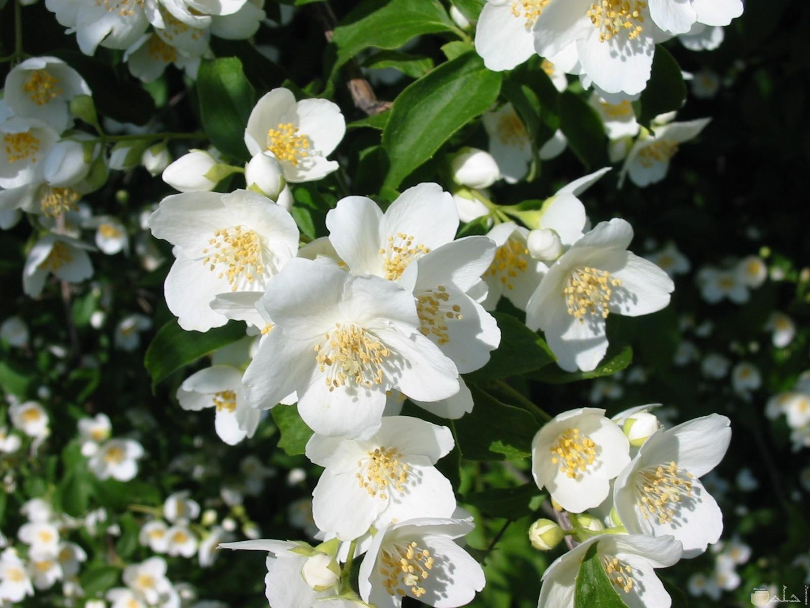 صورة جميلة لزهور الفل والياسمين