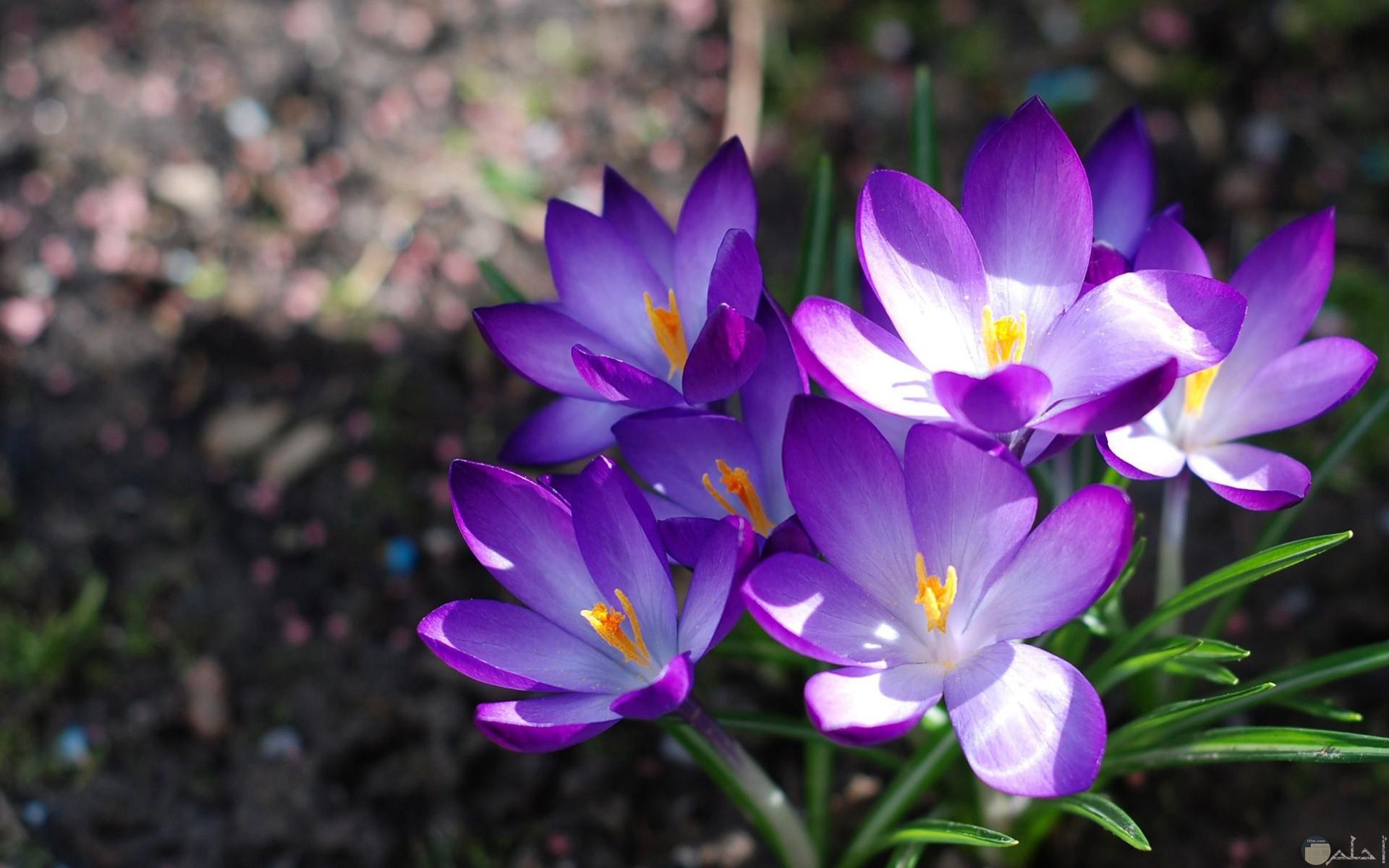 زهور البنفسج الصغيرة