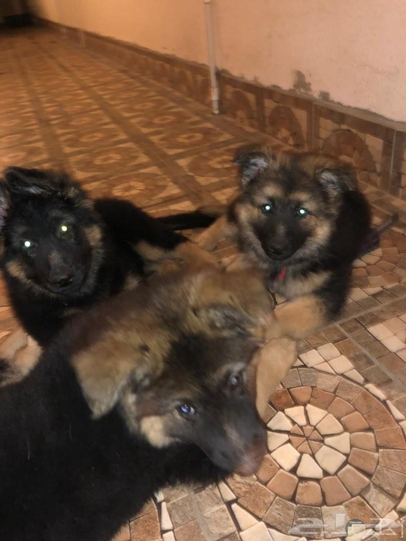 مجموعة كلاب جيرمن بيور فى صورة واحدة.