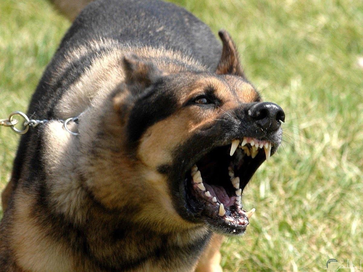 صورة لكلب قوى يحاول الإفتراس.