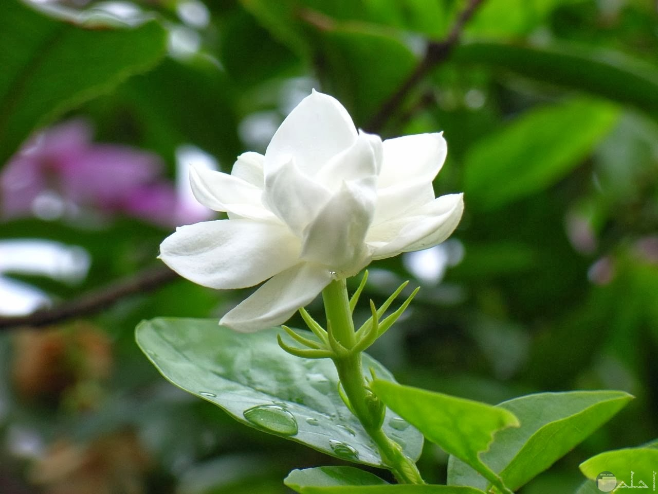 زهرة فل بيضاء