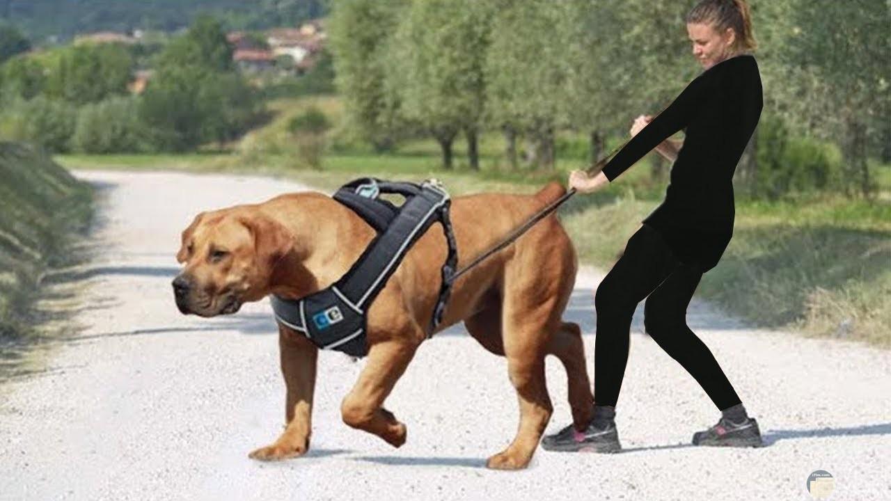 كلب قوى و مدريته تحاول السيطرة عليه.