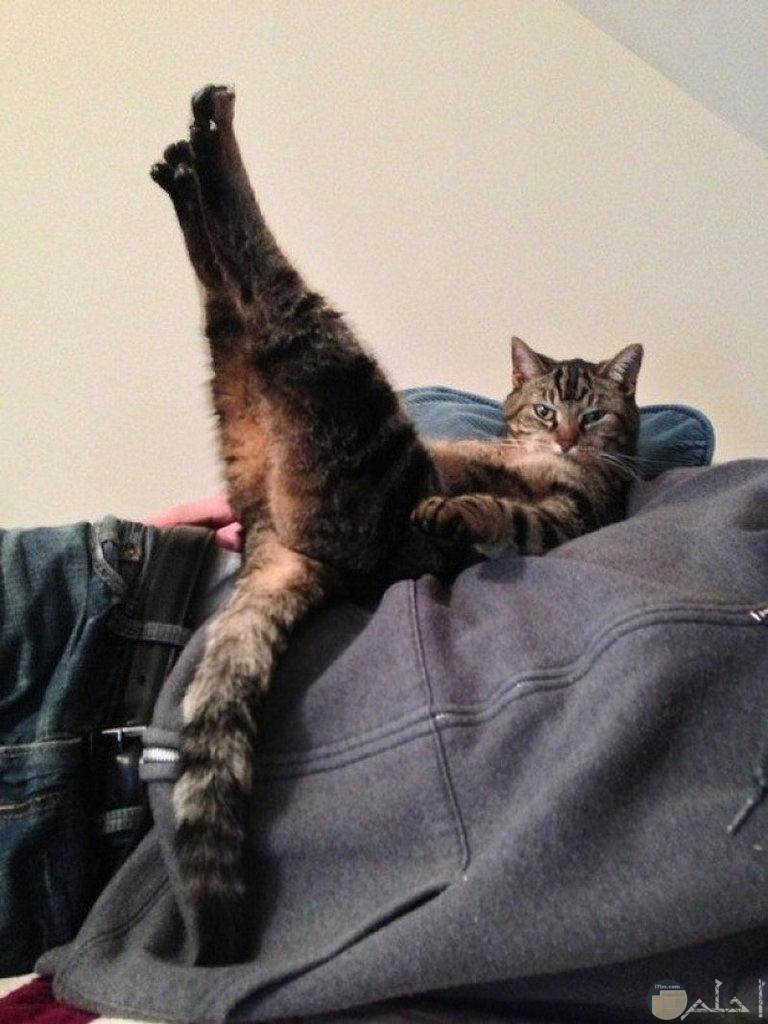 صورة قط اثناء تمارينه.