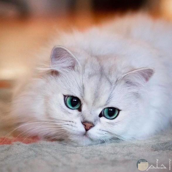 قطة بيضاء تخوف