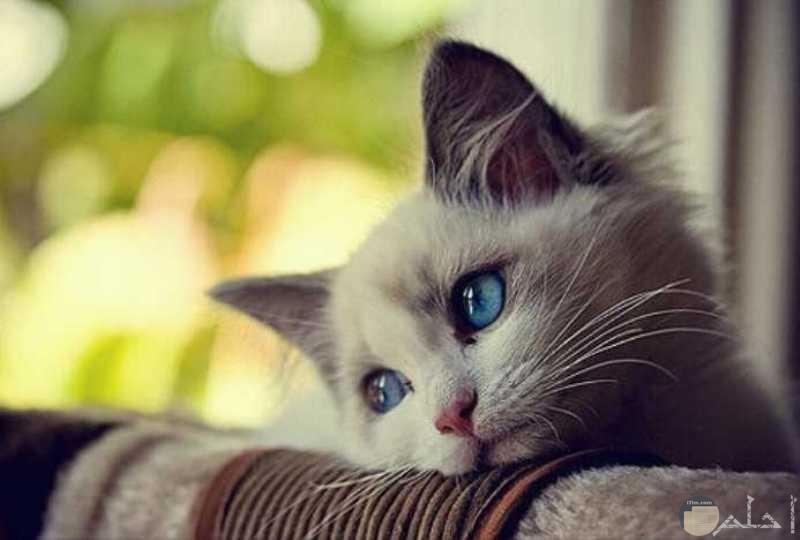 صورة قطة بريئة