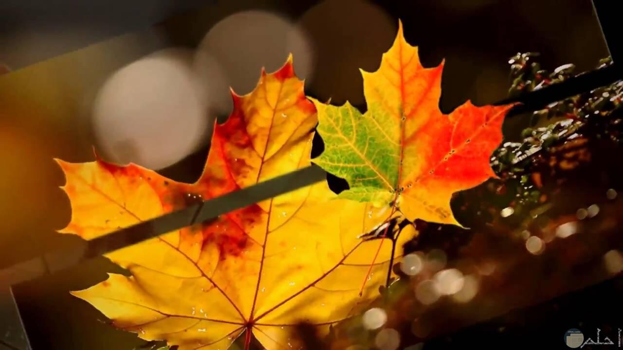 أوراق الشجر في فصل الخريف مع قطرات الندى.