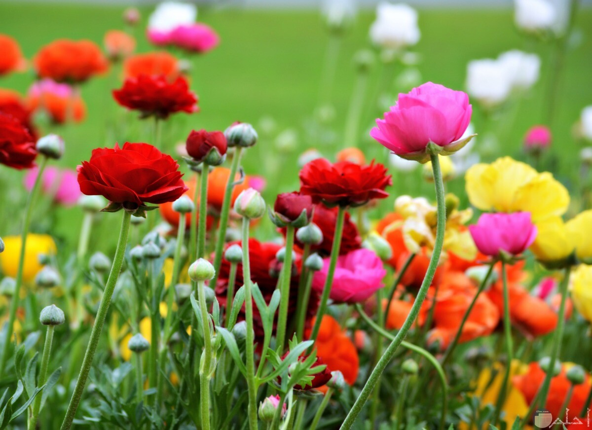 أزهار الربيع بألوانها المتنوعة الجميلة.