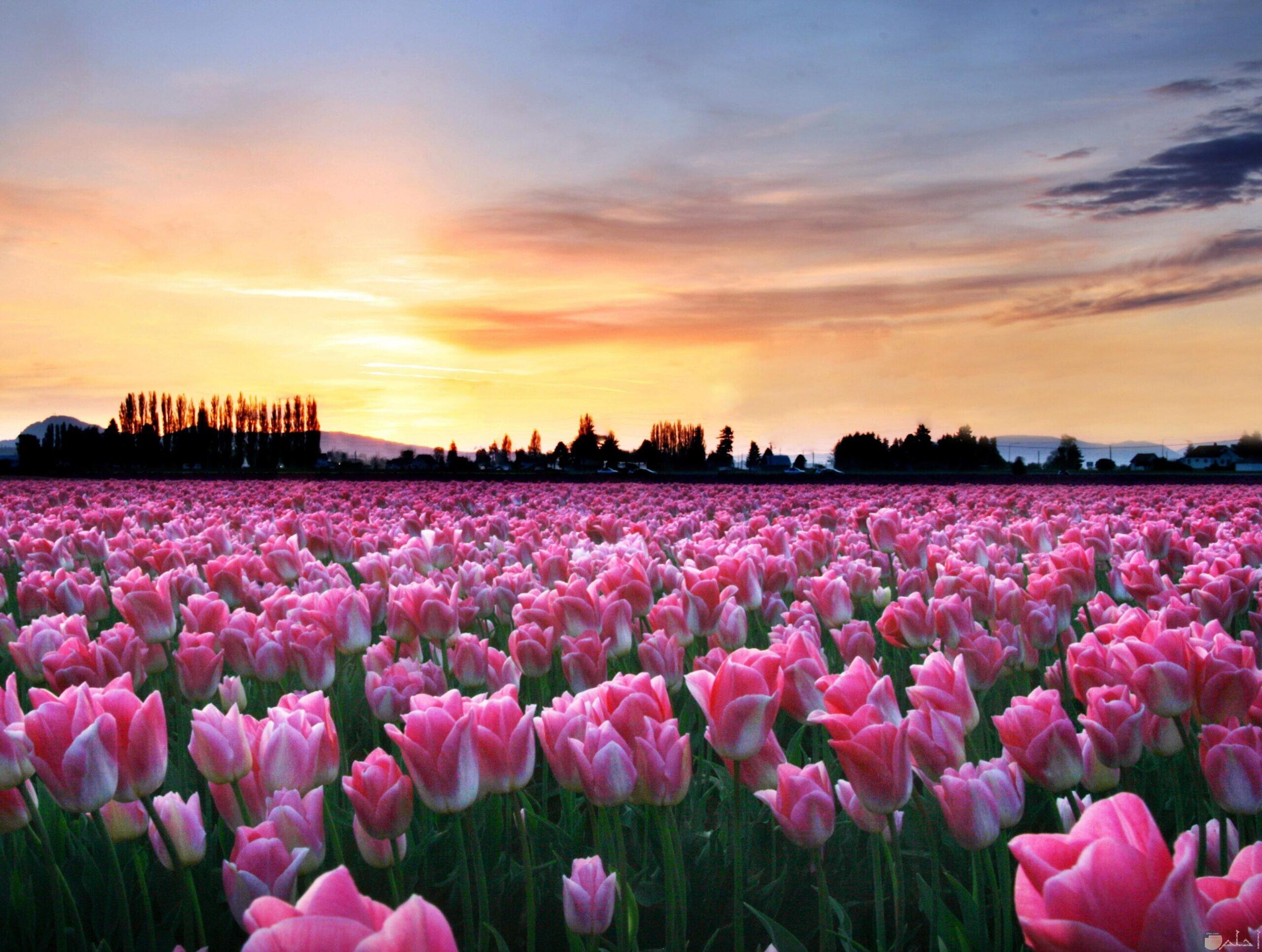 حقول الزهور الخلابة وقت الغروب.