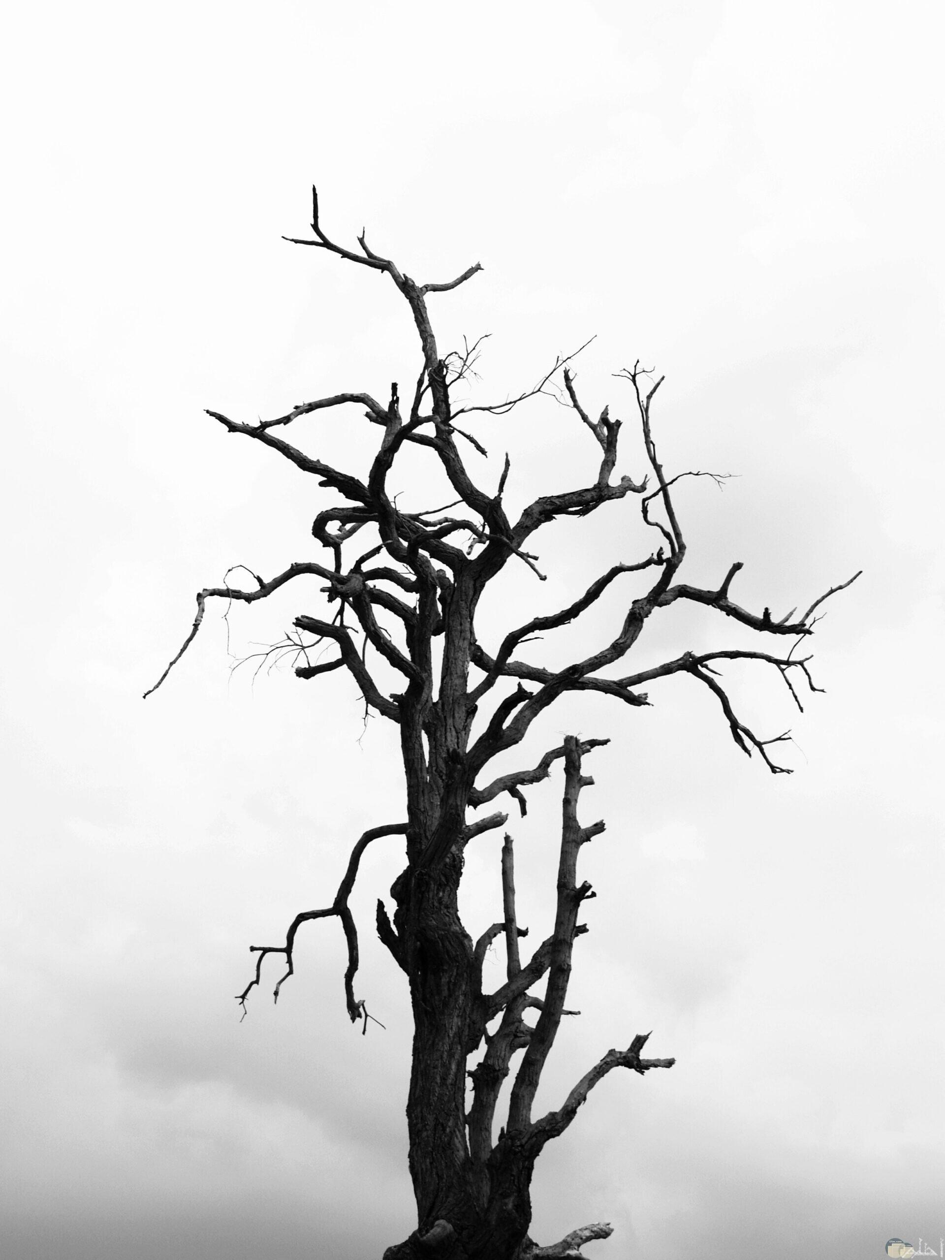 شجرة يابسة بدون أوراق.