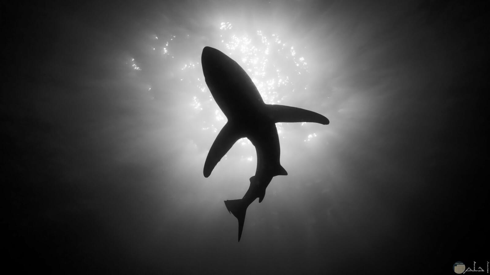 سمكة القرش أبيض و أسود.
