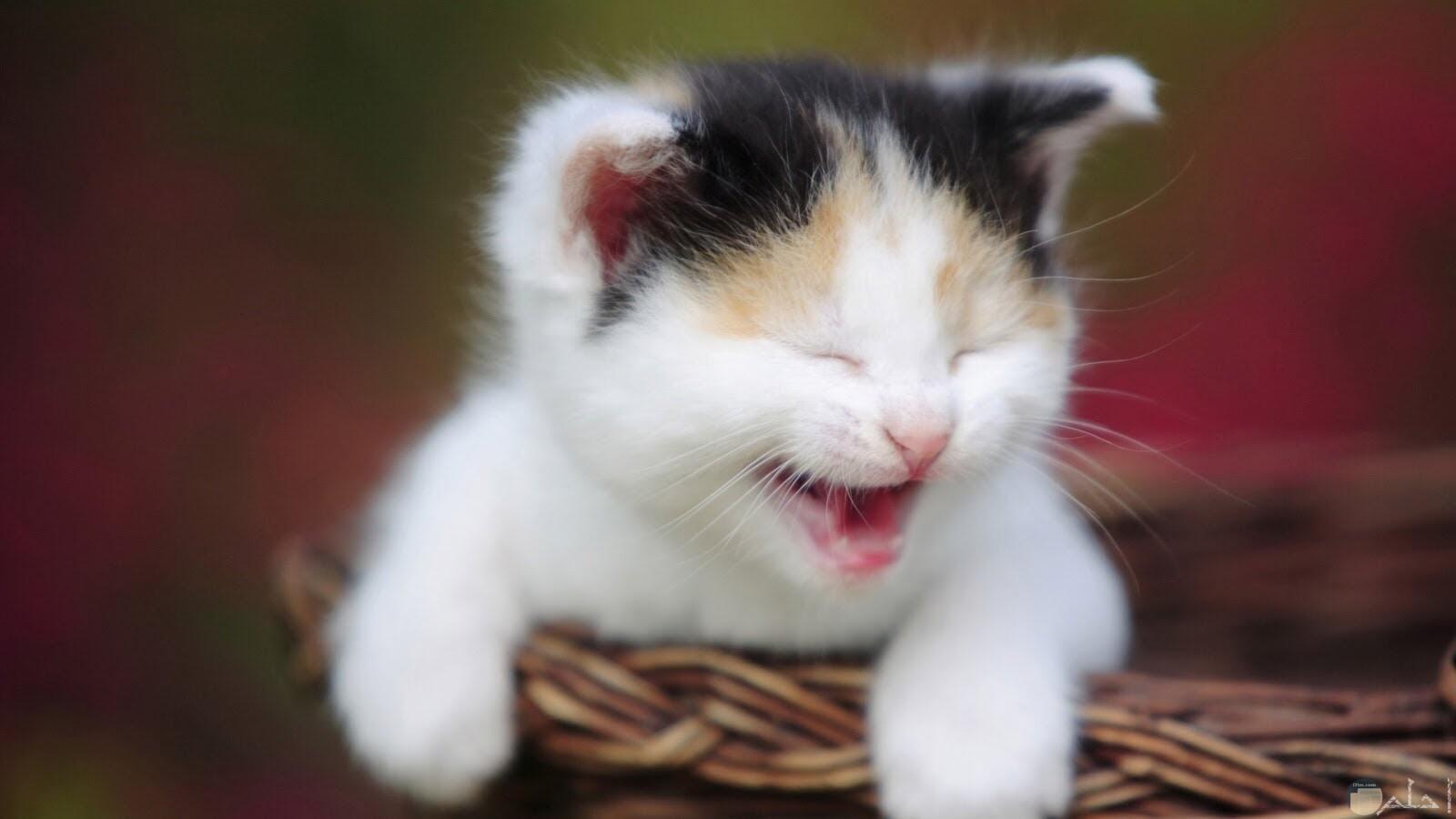 صورة قطة تضحك.