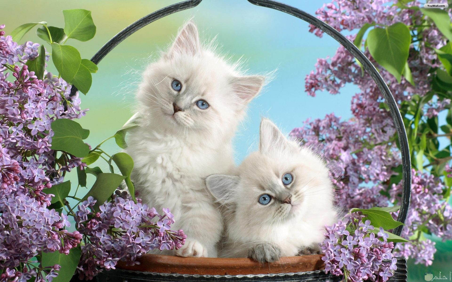 قطتان أبيض مع ورد بنفسجي.
