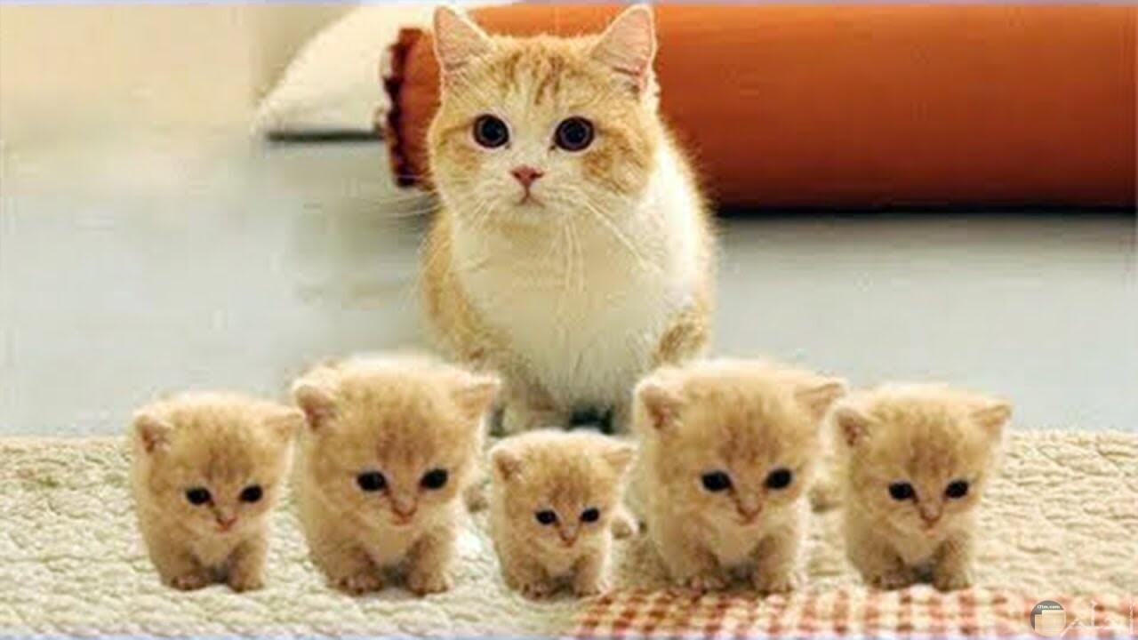 قطة جميلة و أولادها الخمسة.