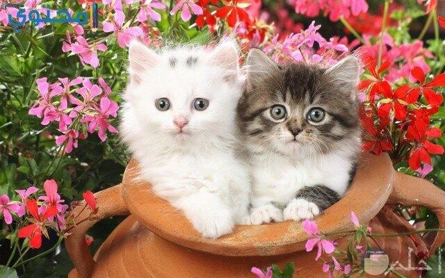 صورة قطتين مختلفتين اللون.