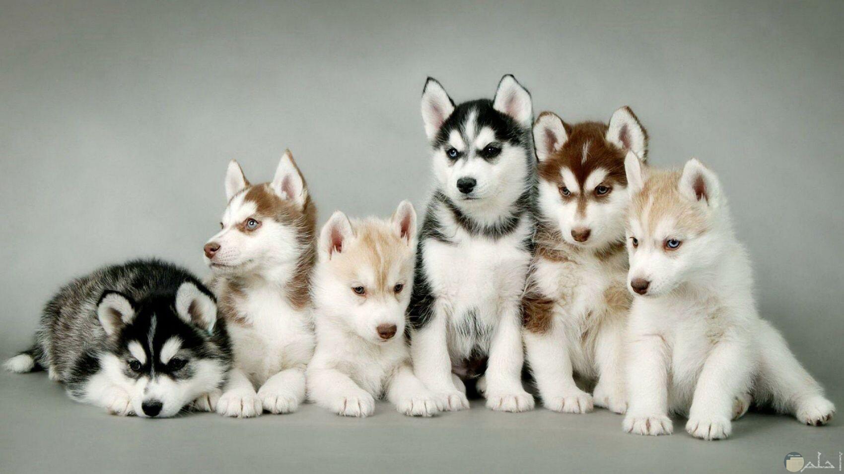 كلاب هاكسي جرو.