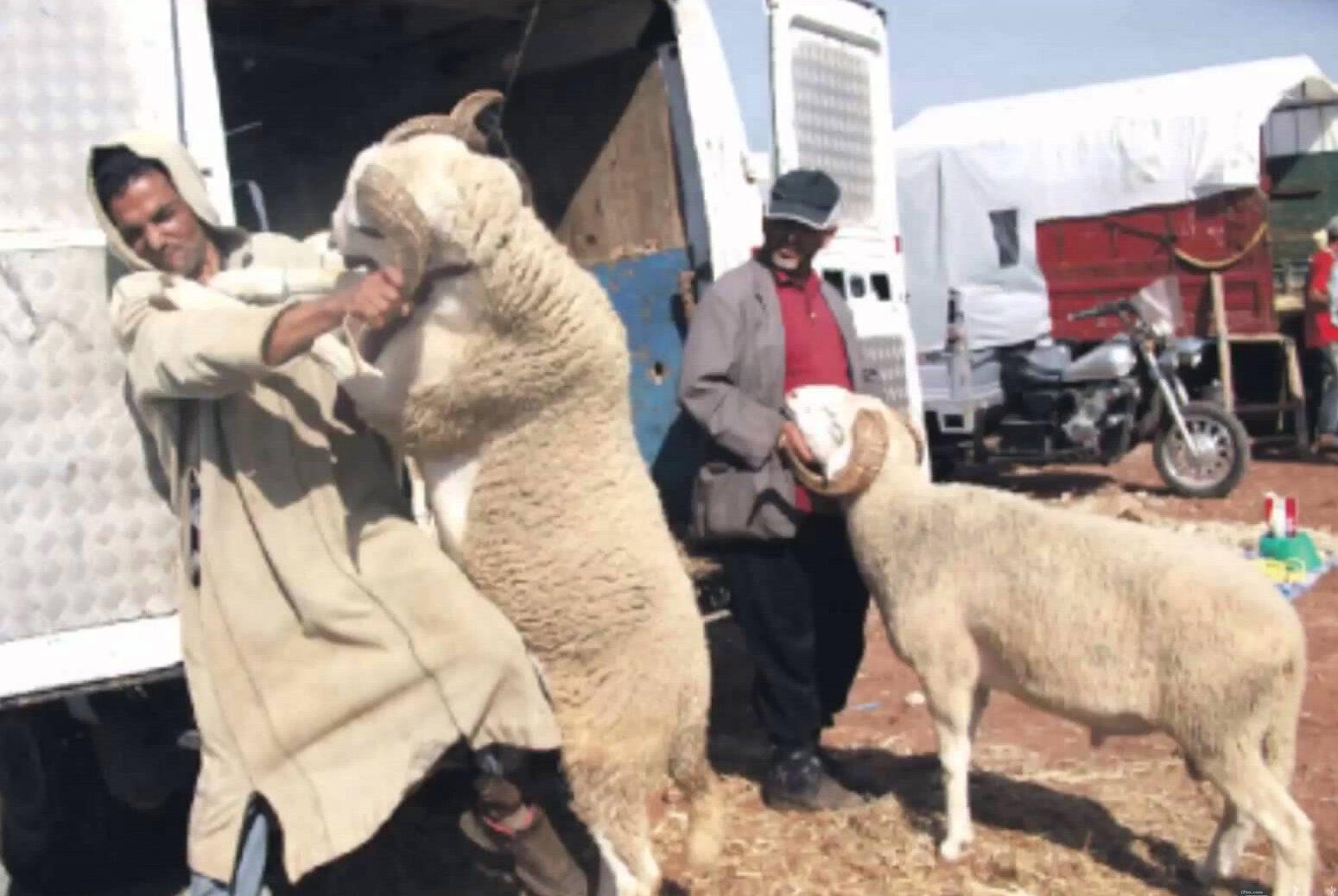 مواقف مضحكة مع خروف العيد.