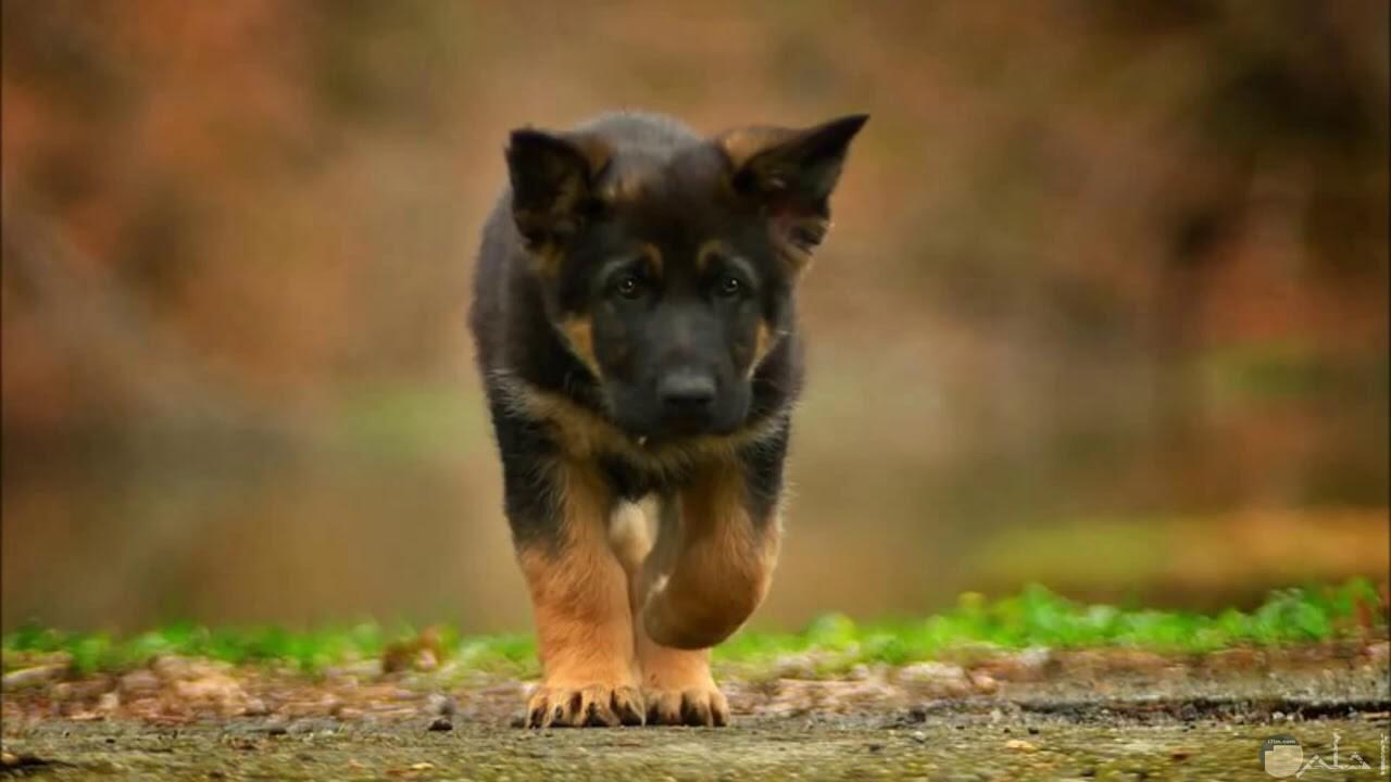 صورة كلب جرو لونه أسود داكن.