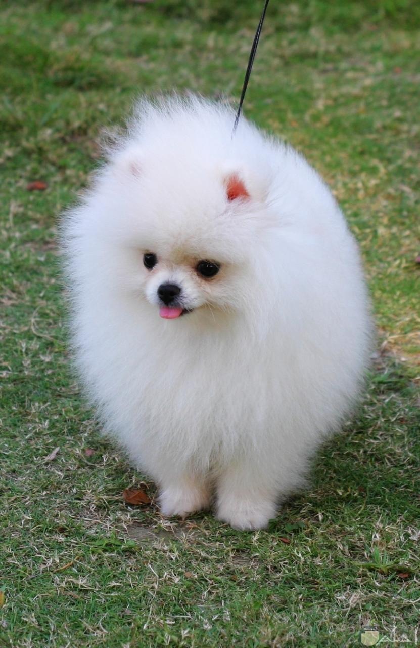 صورة كلب رومي بالحديقة.