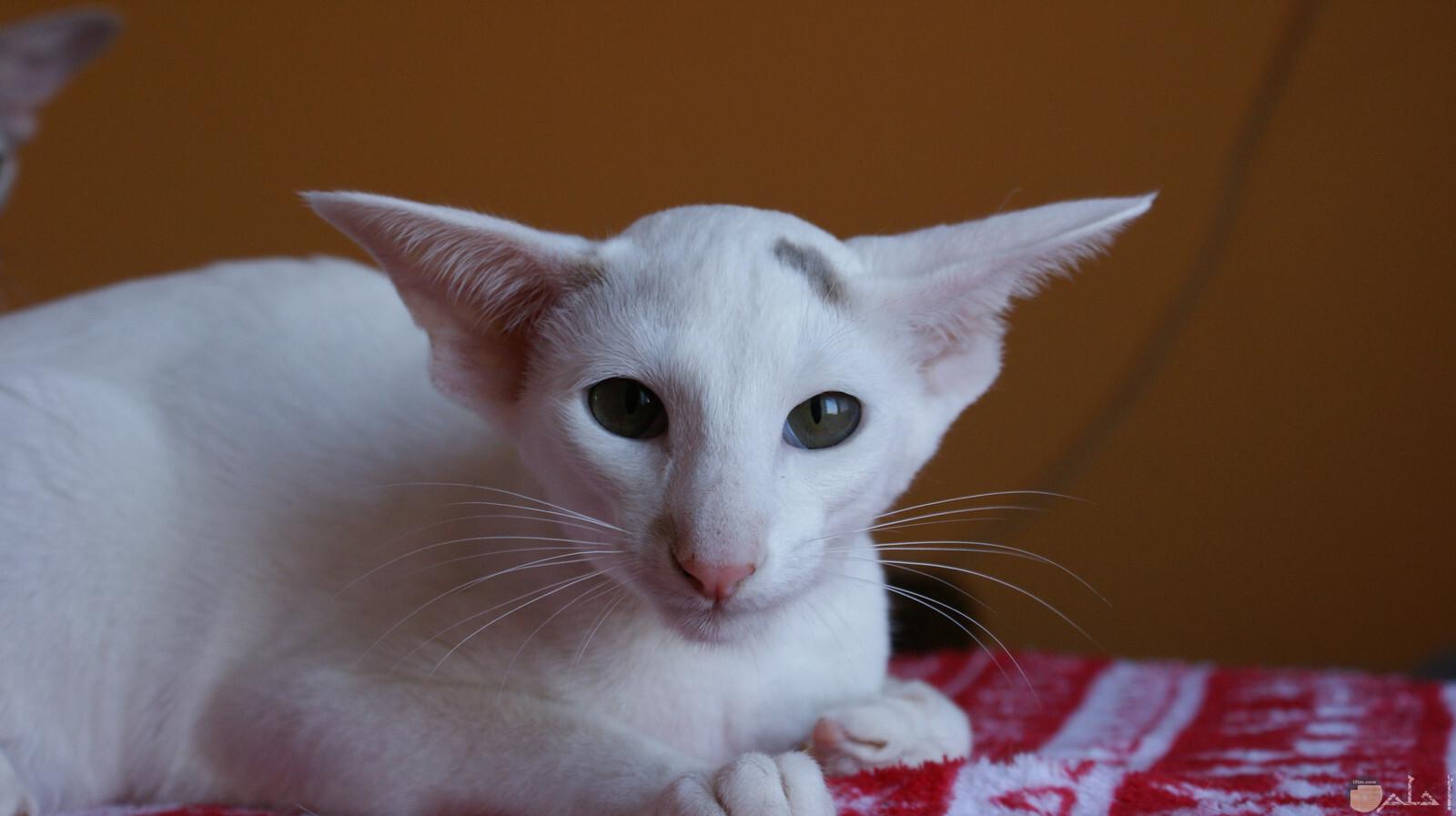 فصيلة نادرة جدا من القطط