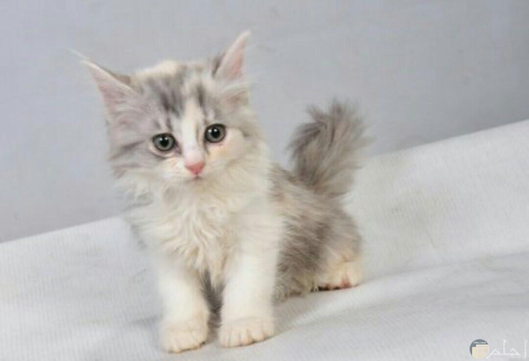 قطة صغيرة رومي