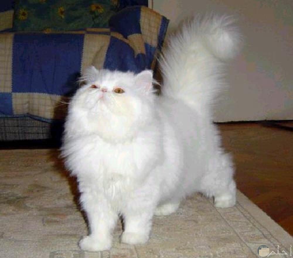 قط ابيض رومي