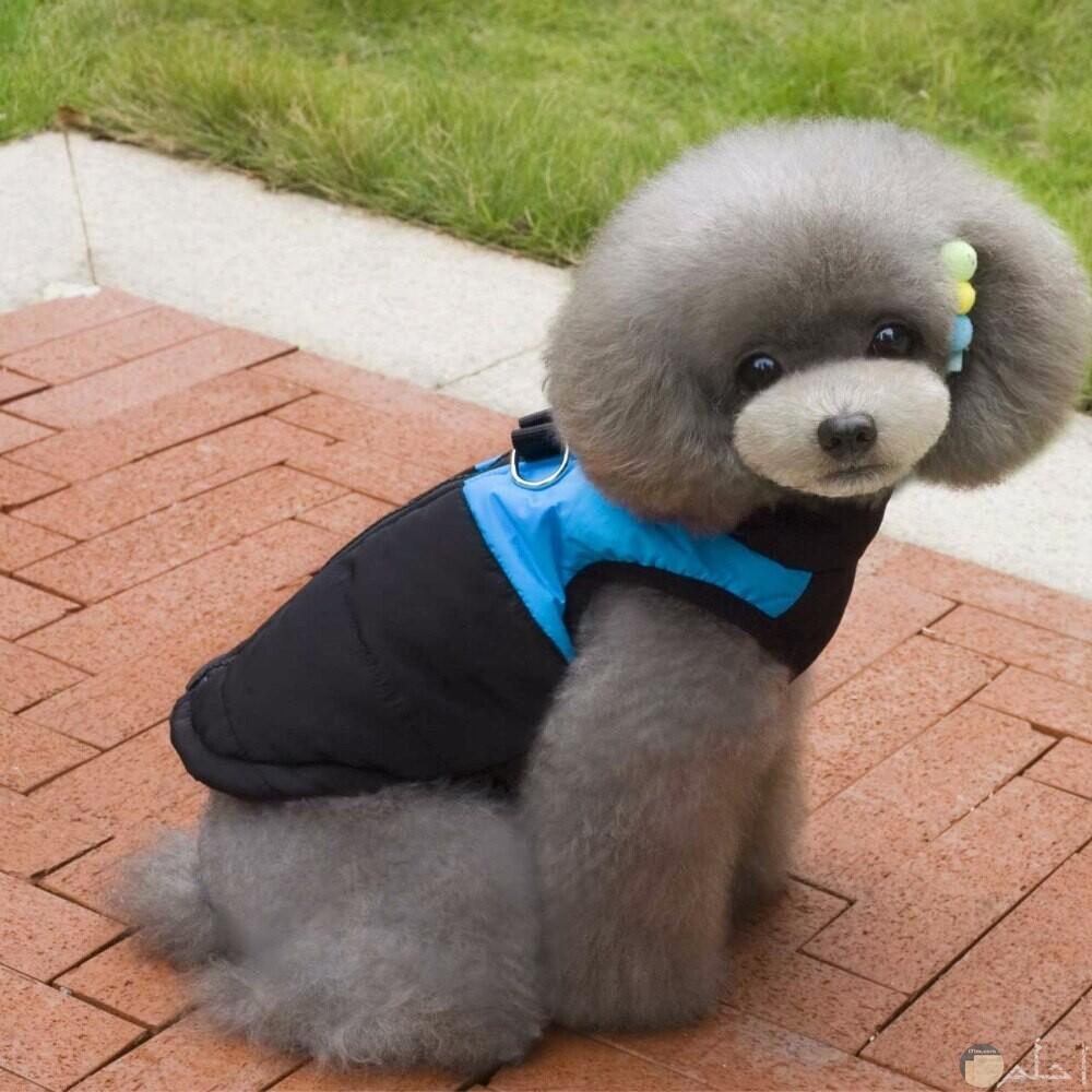 صورة كلب جرو رصاصي اللون و مزين بالملبس.