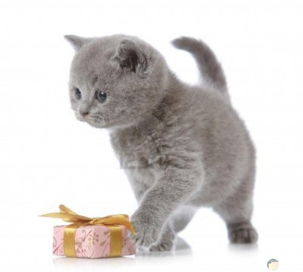 قطة جميلة لونها رمادي