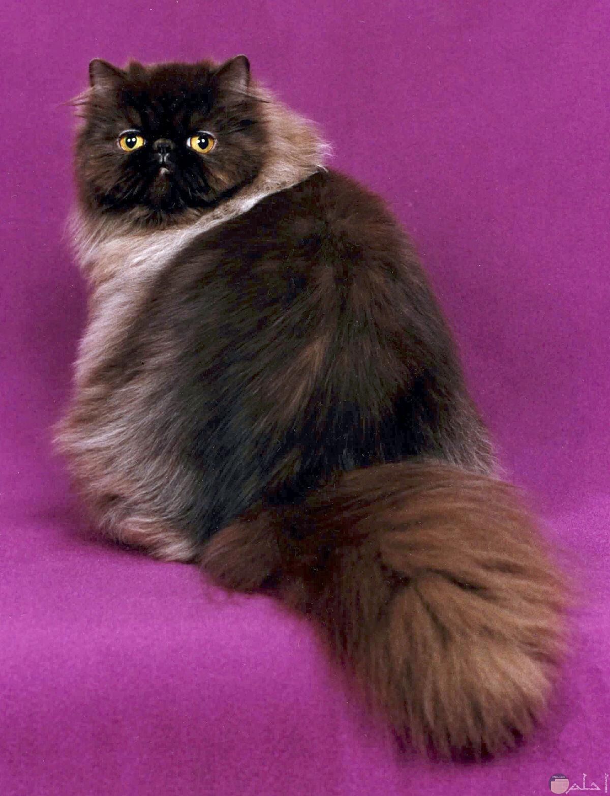 قطط غريبة ذات شعر كثيف