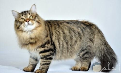 قط سيبيرى روسي