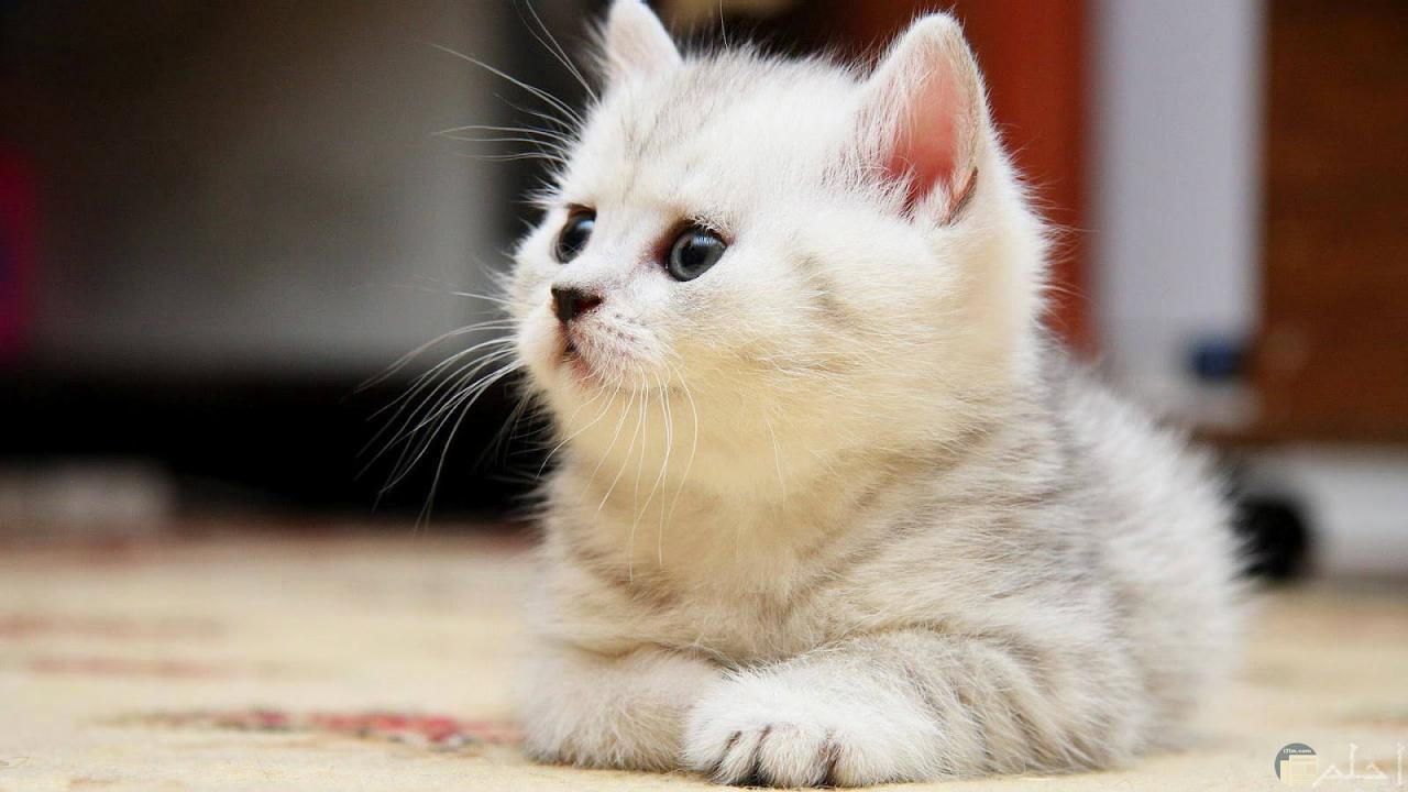 من ارقي انواع القطط