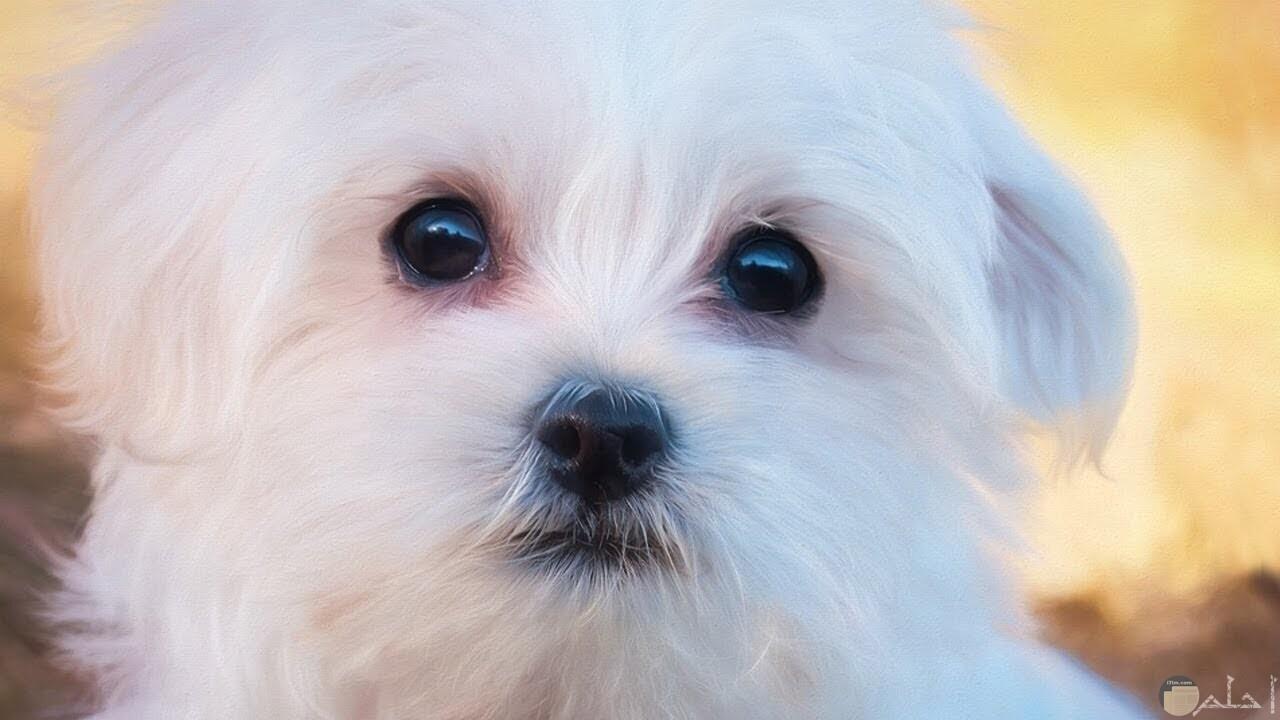 كلب رومي كيوت في مظهره.