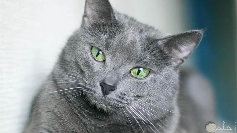 صورة قطط روسي