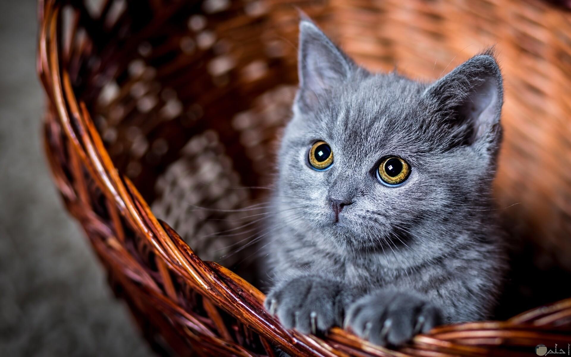 القط الازرق الروسي