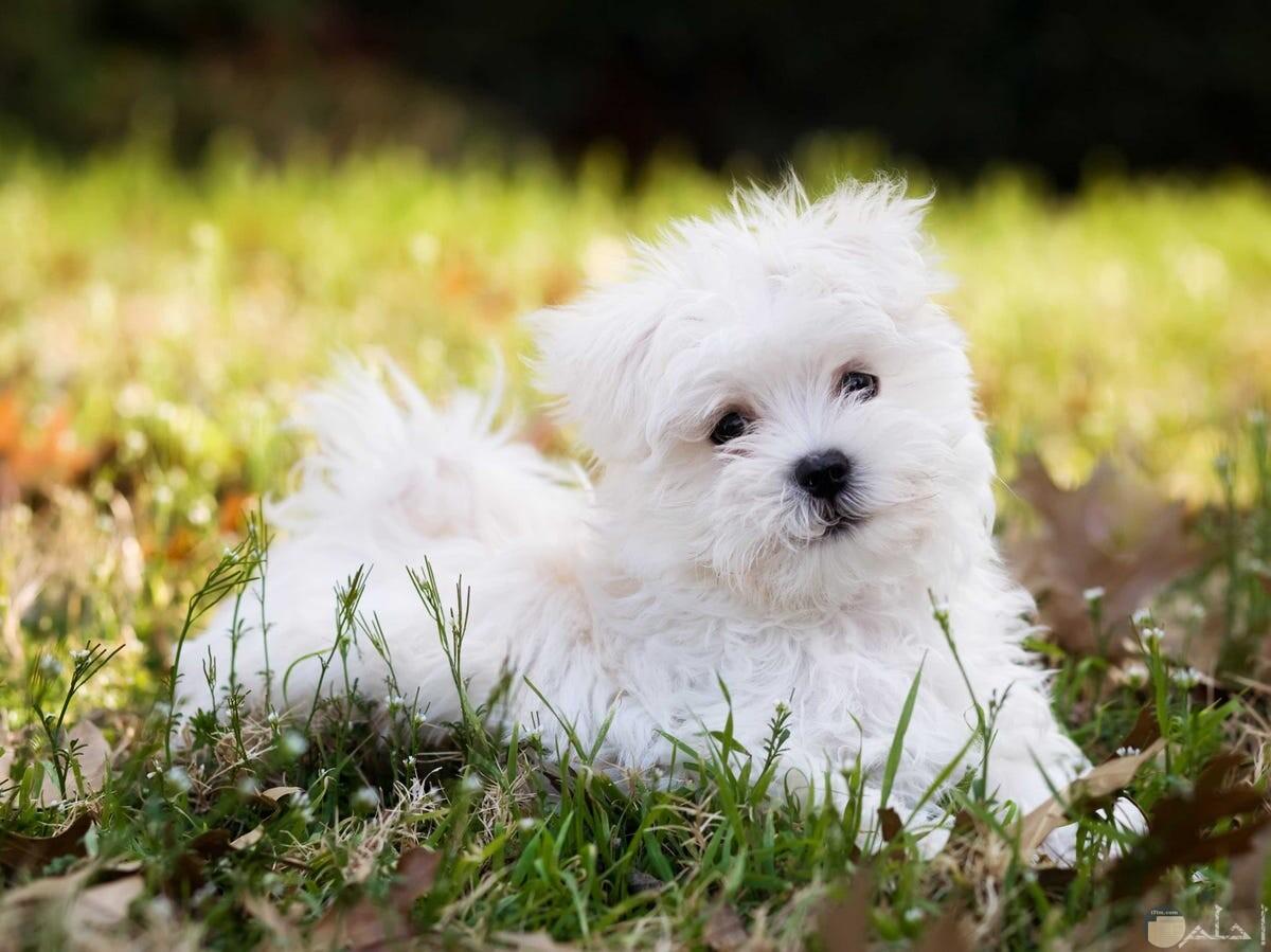 صورة كلب رومي منسجم مع الزرع.