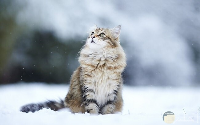 قط روسي مميز