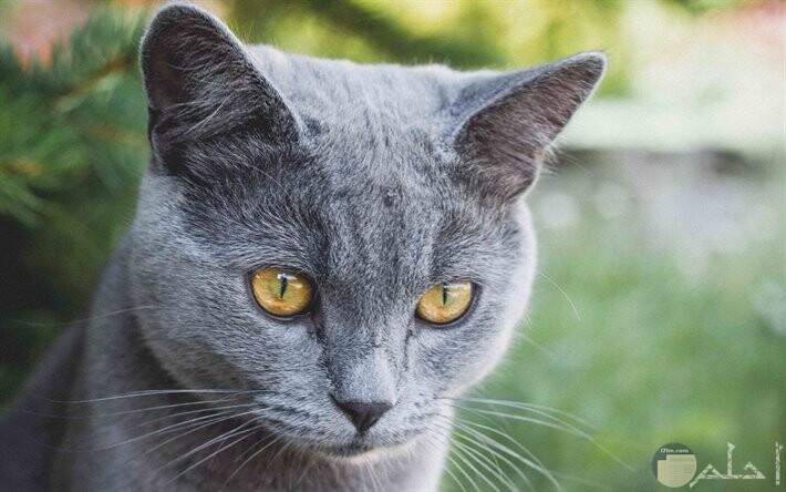 قطة لونها رومادى