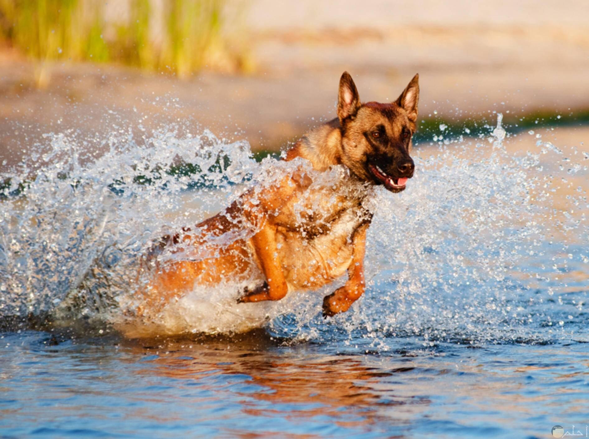 كلب مالينو يجري فى البحر