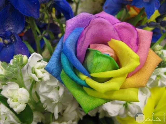 صورة وردة بلدي بالوان متعددة