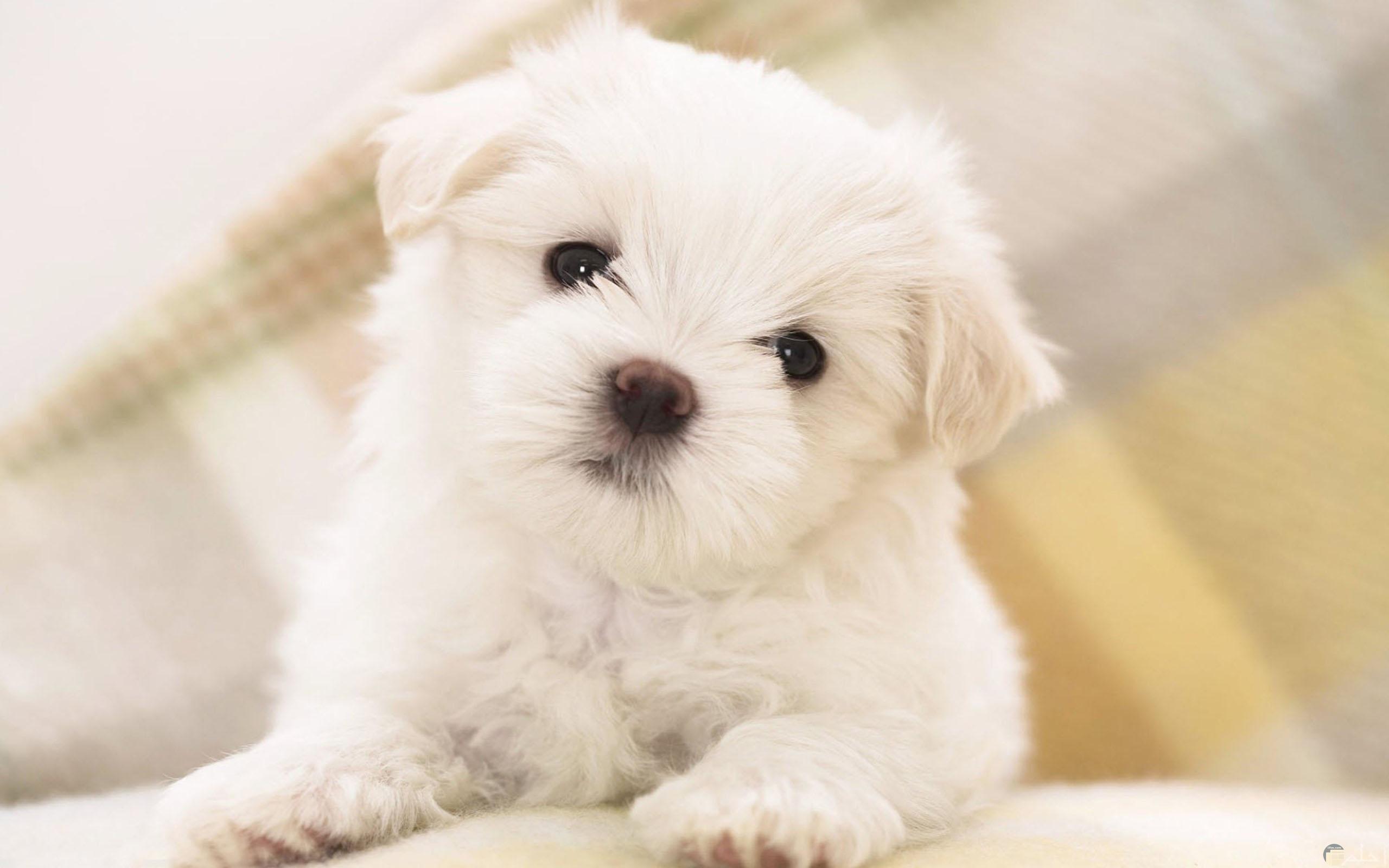 صورة كلب جرو أبيض اللون.