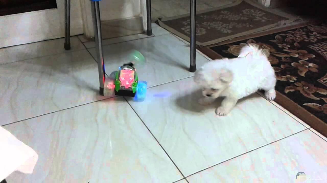 كلب رومي يداعب دمية.