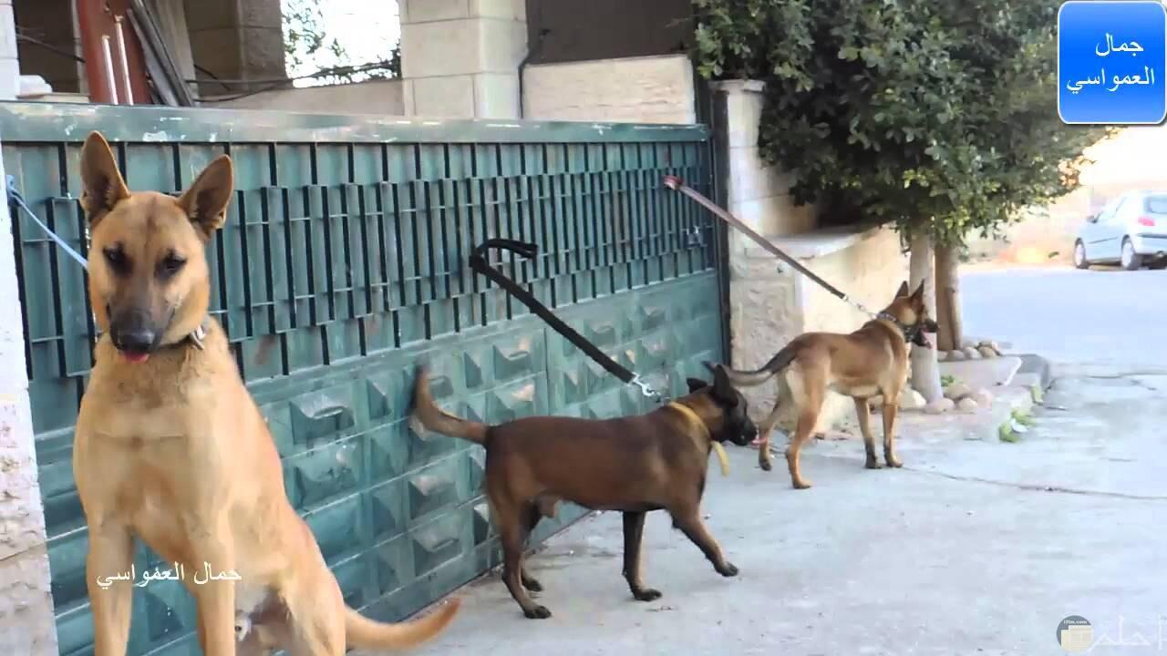 ثلاث كلاب مالينو بلجيكى