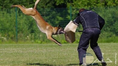 صور لكلاب مالينو بلجيكى
