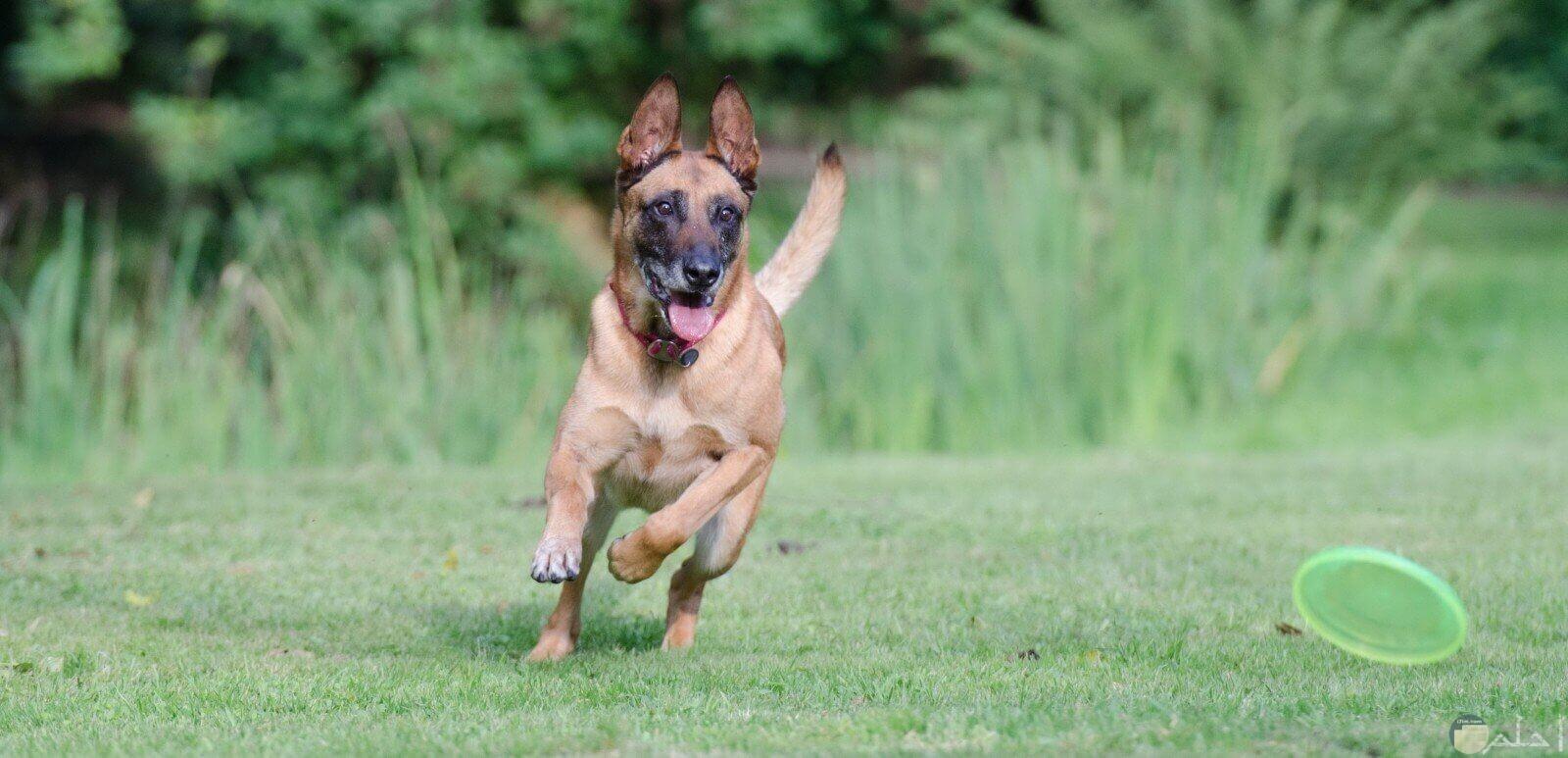كلب يجري بسرعه