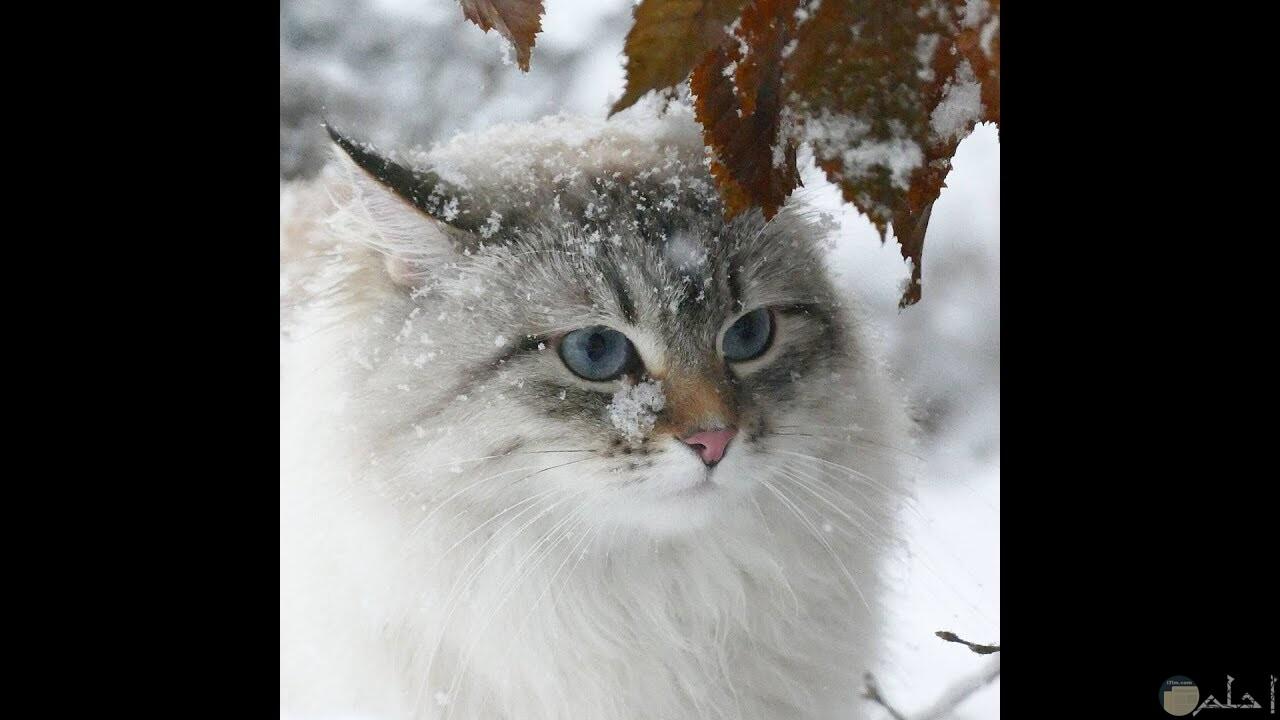 قط سيبيري كبير