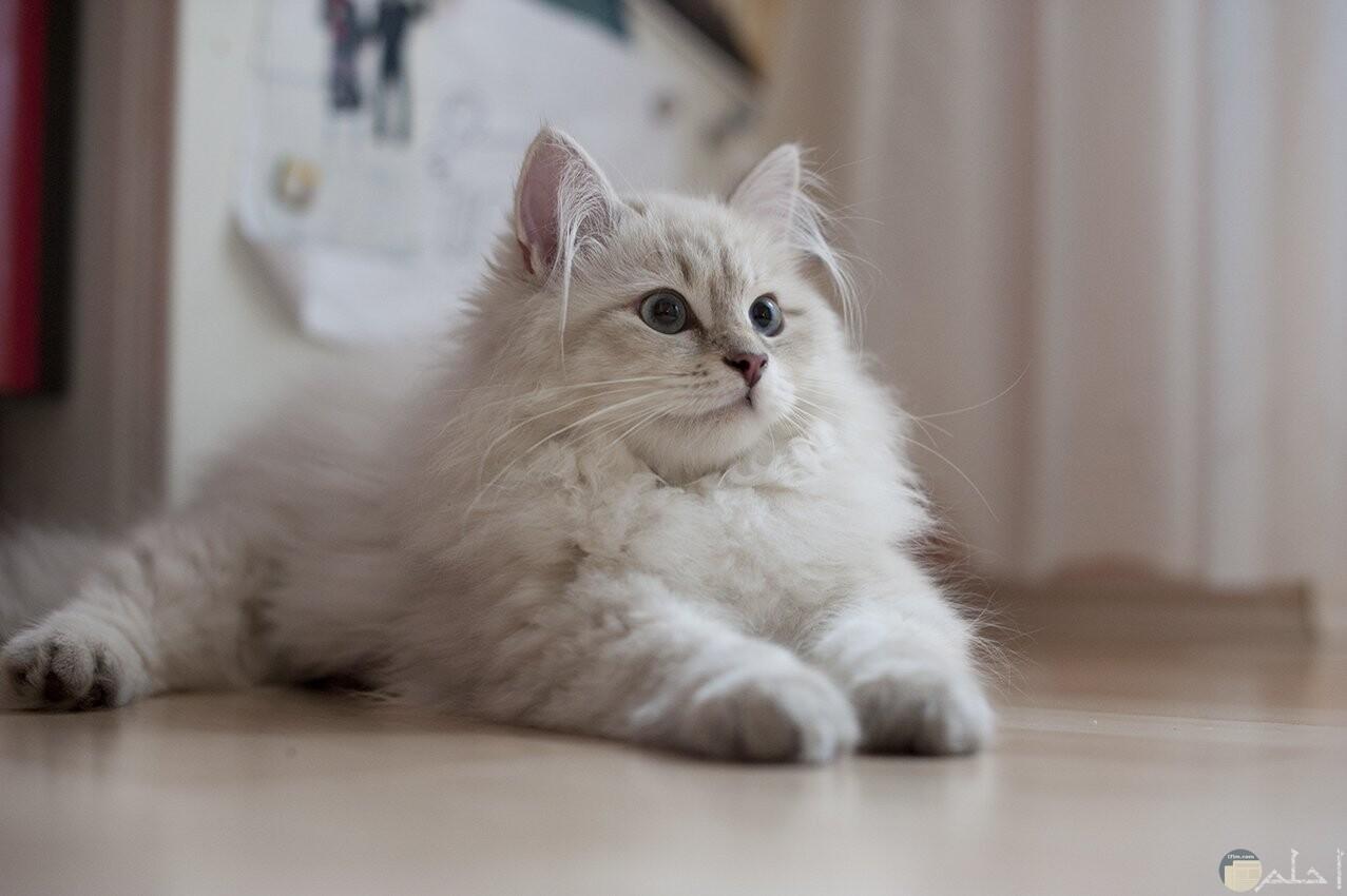 قط كبير وجميل