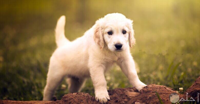 كلب جرو صغير أبيض في حديقة.