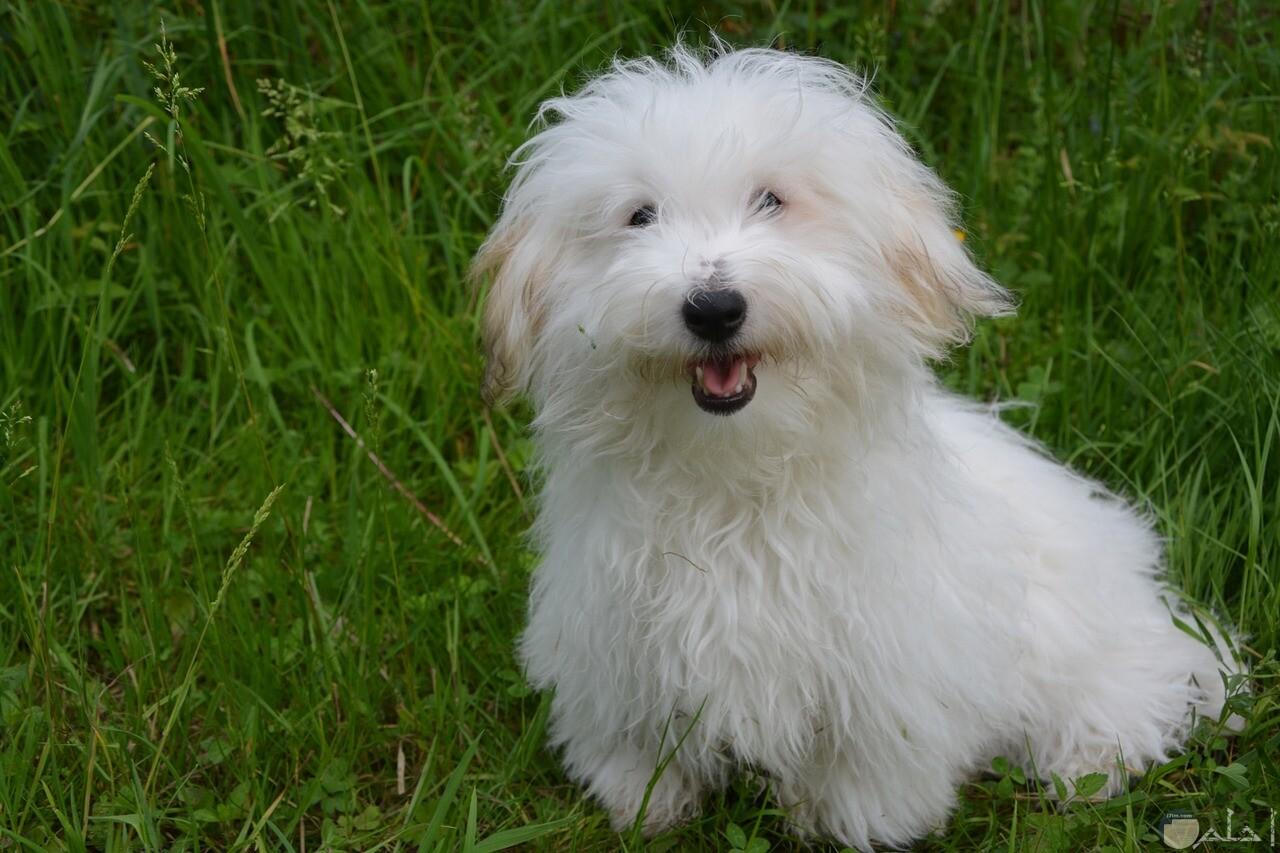 كلب رومي كثيف الشعر و كيوت جدا.